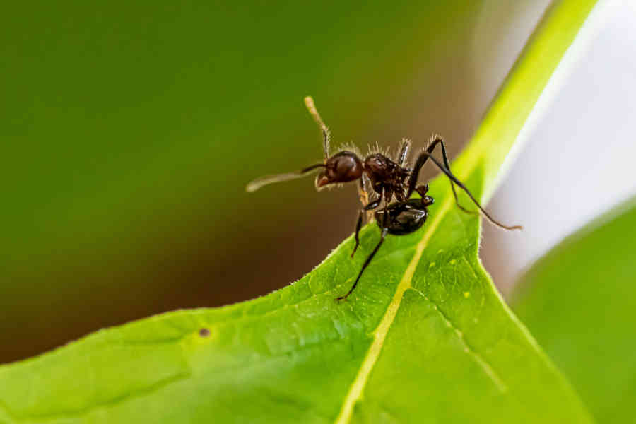 How To Get Rid Of Ants In Carpet