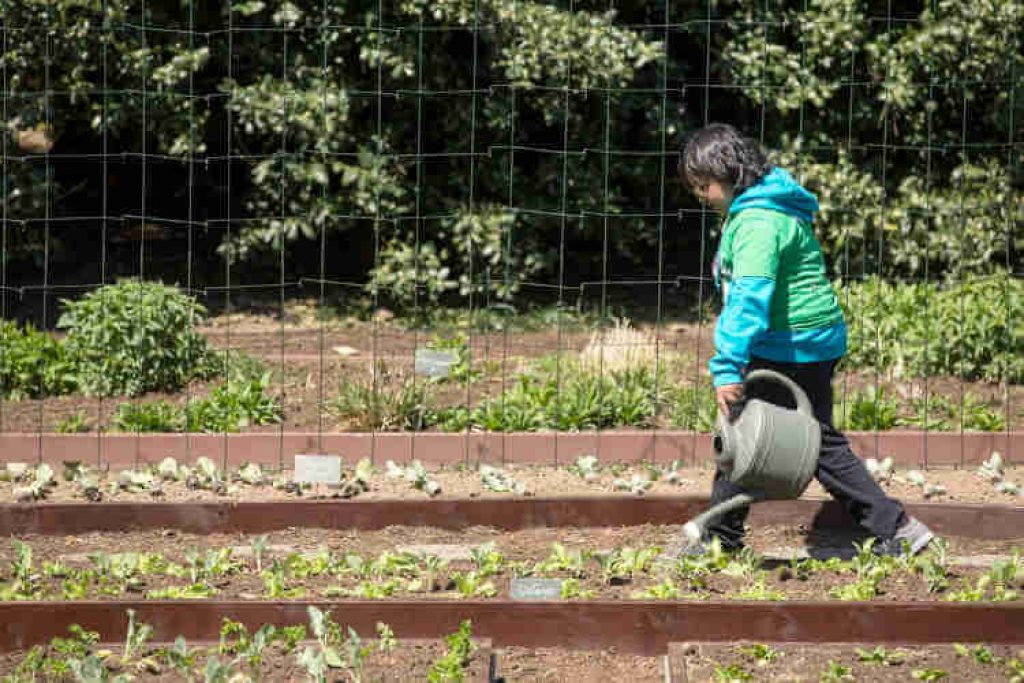 Watering To The Cabbage